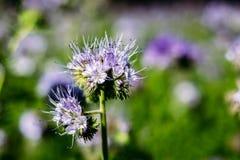 Primer de la flor de Phacelia Tanacetifolia Fotografía de archivo