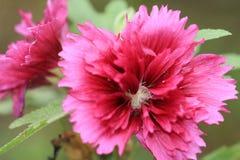 Primer de la flor roja Fotografía de archivo