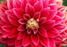 Primer de la flor roja imagen de archivo libre de regalías