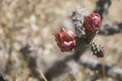 Primer de la flor roja del cactus del desierto en Arizona fotografía de archivo