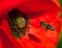 Primer de la flor roja floreciente de la amapola con una abeja Fotografía de archivo libre de regalías