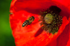 Primer de la flor roja floreciente de la amapola con una abeja Fotos de archivo