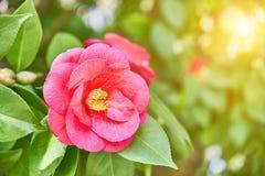 Primer de la flor rosada de la camelia imágenes de archivo libres de regalías
