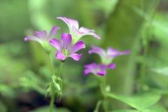 Primer de la flor rosada del woodsorrel Imagenes de archivo