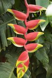 Primer de la flor tropical. Imagen de archivo libre de regalías