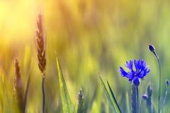 Primer de la floración blanda entre las especias del trigo encendidas por el aciano azul del sol uno del verano en alto tronco en fotografía de archivo libre de regalías