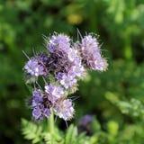 Primer de la floración de Phacelia en el abierto Fotografía de archivo