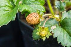 Primer de la fresa enfermo Imagen de archivo