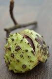 Primer de la fruta de la castaña de caballo en Shell Imagen de archivo