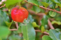 Primer de la fruta del Acerola Foto de archivo