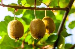 Primer de la fruta de kiwi madura en los arbustos Turismo rural de Italia fotos de archivo libres de regalías