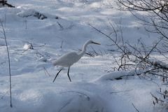 Primer de la garza blanca que se coloca en la nieve blanca fotografía de archivo libre de regalías