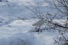 Primer de la garza blanca que se coloca en la nieve blanca Imagen de archivo