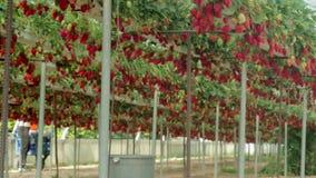 Primer de la granja de la fresa almacen de metraje de vídeo