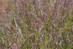 Primer de la hierba púrpura Fotografía de archivo