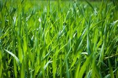 Primer de la hierba verde Imagen de archivo libre de regalías