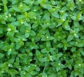 Primer de la hierba verde con las pequeñas flores blancas fotos de archivo libres de regalías