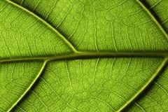 Primer de la hoja de la planta tropical Fotografía de archivo libre de regalías