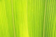 Primer de la hoja del maíz Foto de archivo libre de regalías