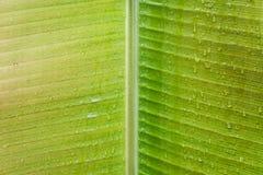 Primer de la hoja verde del árbol de plátano, textura natural fotos de archivo