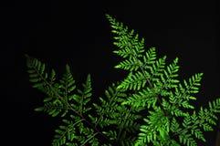 Primer de la hoja verde del helecho aislada en fondo negro fotos de archivo libres de regalías