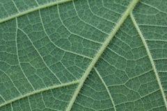 Primer de la hoja verde, fondo verde de la textura de la hoja Foto de archivo libre de regalías