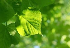 Primer de la hoja verde que brilla intensamente en luz del sol Fotos de archivo