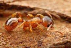 Primer de la hormiga del myrmica fotos de archivo