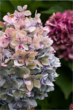 Primer de la hortensia Fotos de archivo