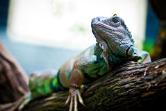 Primer de la iguana imágenes de archivo libres de regalías