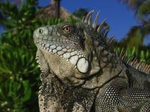 Primer de la iguana Imagenes de archivo