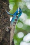Primer de la iguana azul, Tailandia. Foto de archivo