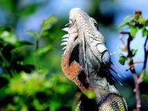 Primer de la iguana, parque de la Florida Foto de archivo libre de regalías