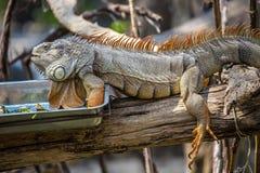 Primer de la iguana verde Foto de archivo libre de regalías