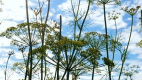 Primer de la inflorescencia del eneldo Las pequeñas flores amarillas del eneldo plantan el crecimiento en una cama del jardín metrajes
