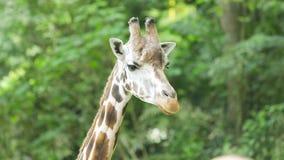 Primer de la jirafa en el parque zoológico metrajes