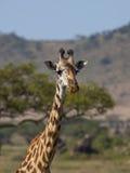 Primer de la jirafa en el ` s Serengeti de África Imagenes de archivo