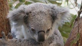 Primer de la koala almacen de metraje de vídeo
