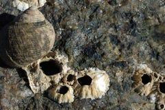 Primer de la lapa encontrado a lo largo de línea de la playa Imagen de archivo libre de regalías