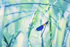 Primer de la libélula en los troncos de la hierba Imagen de archivo