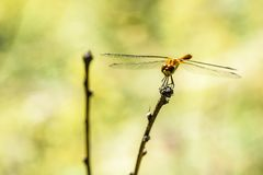Primer de la libélula en una rama Imagen de archivo