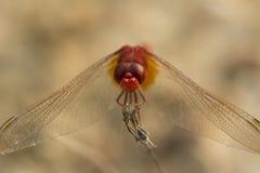 Primer de la libélula roja Fotografía de archivo