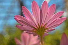 Primer de la luz fantástica de la pizca rosada hermosa de la margarita africana Fotos de archivo libres de regalías