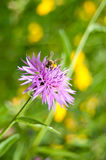Primer de la maíz-flor con la abeja Imágenes de archivo libres de regalías