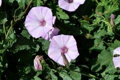 Primer de la mañana rosada Glory Flowers, Ipomoea, naturaleza, macro Imagen de archivo libre de regalías