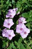 Primer de la mañana rosada Glory Flowers, Ipomoea, naturaleza, macro Fotos de archivo libres de regalías