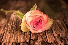 Primer de la madera antigua teñida rosada de Rose And Stem Sits On fotos de archivo libres de regalías