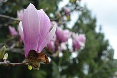 Primer de la magnolia Imagen de archivo
