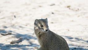 Primer de la mangosta amarilla fotografía de archivo