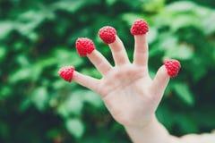 Primer de la mano del niño con la frambuesa en los fingeres en jardín Imagen de archivo libre de regalías